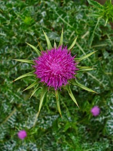 Milk Thistle is a great herb for the liver
